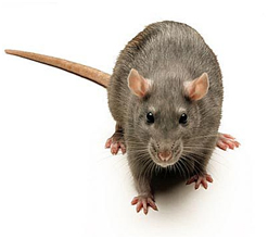Rats Control Services in Noida